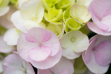 Beautiful soft pink hydrangeaceae flower in garden , close up with soft focus