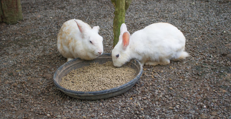 Doubble rabbit are eating food.