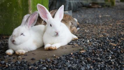 A ouple of white rabbit