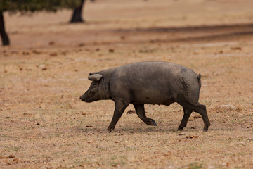 Iberian pig grazing among the oaks