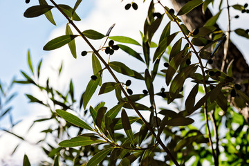 Mediterranean olive tree branches on a perfect day.
