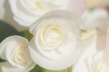 close up white begonia , soft light