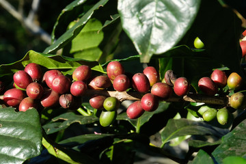 coffee bean on tree and leaf in nature