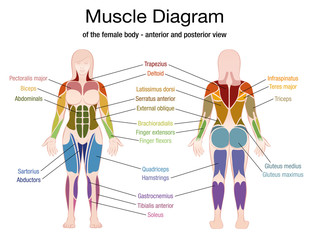 Muscle diagram of the female body with accurate description of the most important muscles - front and back view - isolated vector illustration on white background.