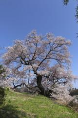 茶園の桜(二本松市)