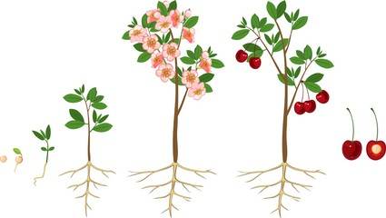 Stages of growth of tree from seed. Life cycle of cherry tree. Tree with root system