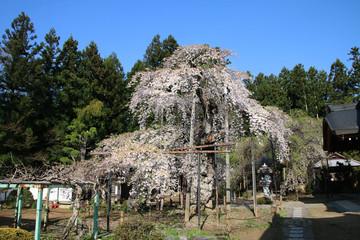 愛蔵寺の護摩桜(二本松市)