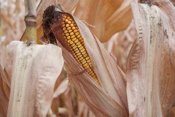 A ripe yellow cob of corn in it's papery husk still on the stalk.