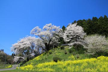 祭田の桜(二本松市)