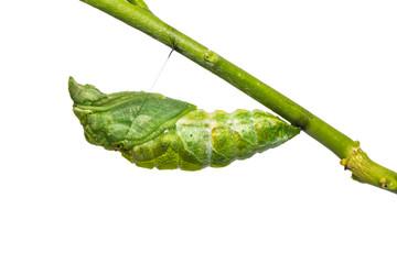 Great Mormon (Papilio memnon) pupa