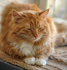 red and white fluffy cat on the windowsill