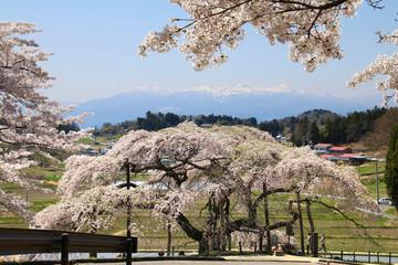 中島の地蔵桜(二本松市)