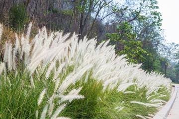 Blooming Kans grass with dry forest background