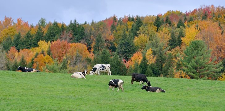 Vermont Fall Foliage with Dairy Cattles, Jeffersonville, Vermont, USA.