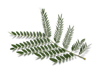 Acacia leaves with branch  isolated on white background, top view