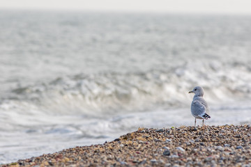 Solitary sea bird. Gull standing on the beach looking out across the ocean