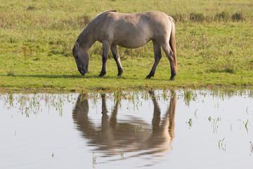 Grazing Konik horse