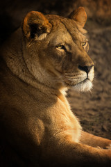 Looking Lioness