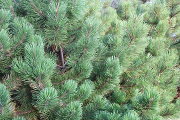 Dense green pine background texture