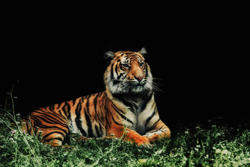 close up on tiger Panthera tigris sumatrae on the grass and black background