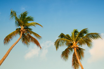 Palm tree with coconuts against the blue sky