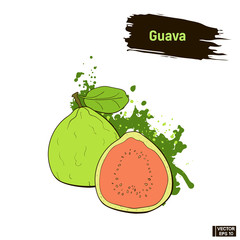Colored sketch of guava fruit.