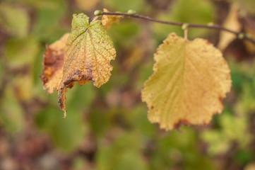 détail feuilles de noisetier en automne