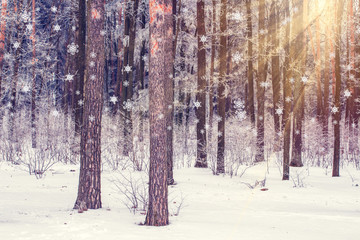sun and snow in the winter forest landscape. Snowfall on Christmas. Winter nature. Xmas background.