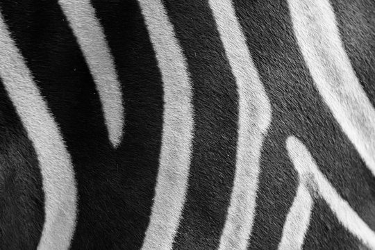 Close up zebra skin pattern black and white