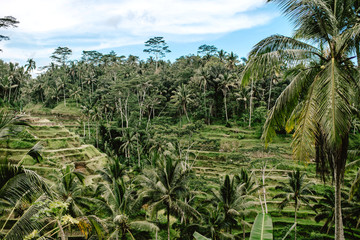 A terrace farm in Bali