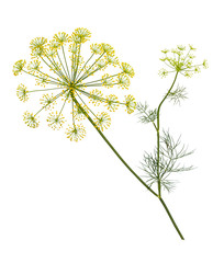 Acrylic Prints Condiments Branch of fresh green dill herb leaves isolated. Flowering plant dill.