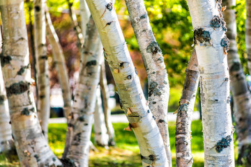 Closeup of many green birch trees grove with leaves in summer in park Quebec, Canada