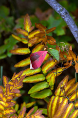 Bright red leaf competes with ferns in fall at Necedah National Wildlife Refuge in Wisconsin