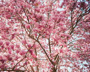 Tree in bloom with pink blossoms
