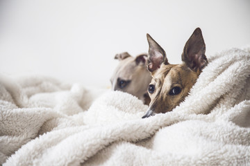 Two Whippets on The Bed