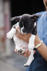 Close up of woman holding in her hands black and white french bulldog puppy