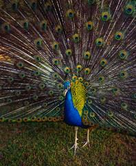Peacock's wheel