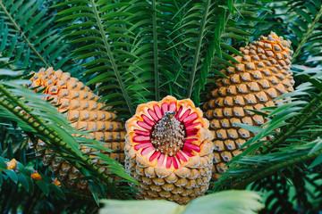 toxic zamia palm fruit