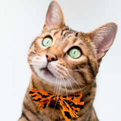 Halloween cat on white background