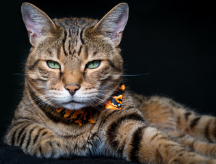 Halloween cat on black background
