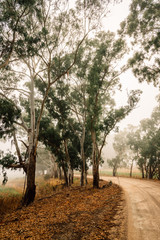 rural scene, country dirt roads in the morning mist, with gum trees