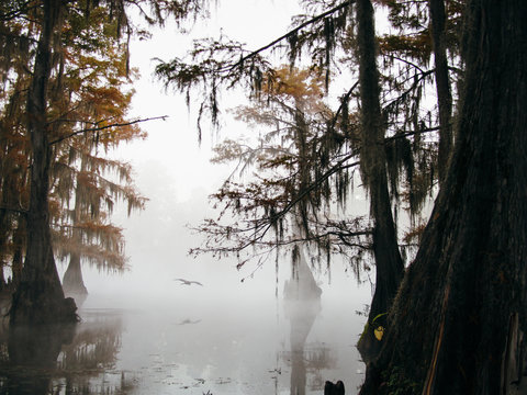 Fog cloaked swamp. Bird flying through cypress trees on the bayou.