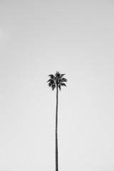 Los Angeles Palm Tree