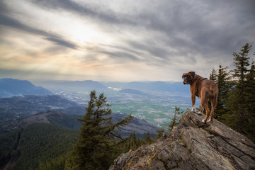 Big Boxer Dog standing on a rocky peak. Picture taken on Elk Mountain, Chilliwack, British Columbia, Canada, during a cloudy spring sunset.