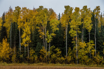 Yellow Trees in the Fall