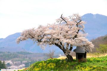 小沢の桜(福島県・田村市)
