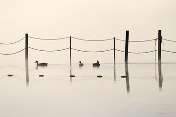 Abstract composition with three ducks swimming near immersed lake pier bollards with water reflections