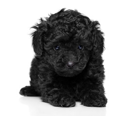 Wall Mural - Toy poodle puppy on white