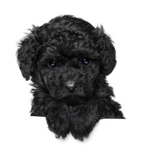 Wall Mural - Toy Poodle puppy above banner