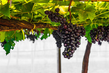 Grape on grape vine.